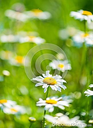 Одичалый стоцвет