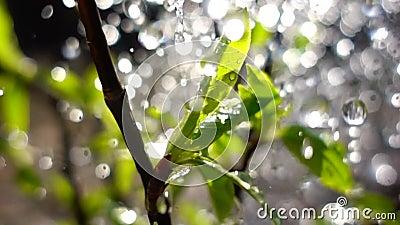 Падать или весенний дождь воды на молодых зеленых листьях сток-видео