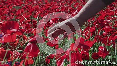Парень касаясь некоторым тюльпанам o поле вполне красных тюльпанов сток-видео