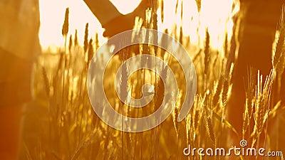Пары в влюбленности на заходе солнца в пшенице акции видеоматериалы