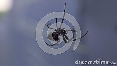 Паук делая конец-вверх сети, опасное страшное насекомое, arachnophobia, глушь видеоматериал