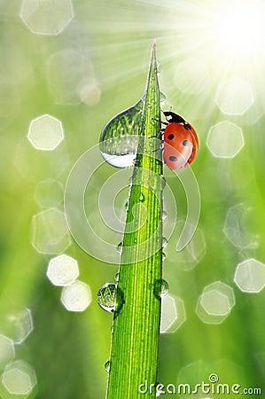 Падения и ladybug росы