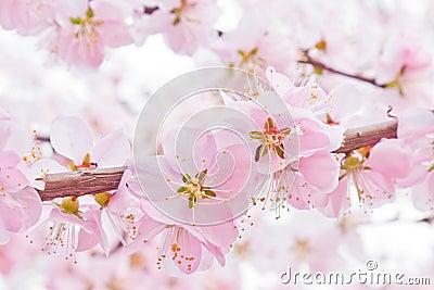 персик цветения