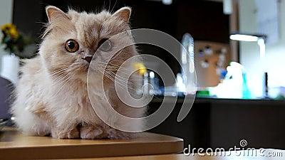 Персидский кот играя с людьми