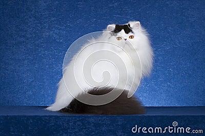 Персидский кот 1