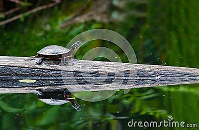 покрашенная черепаха