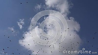 Полет ворон, летающих на облачном небе, ворона в полете, птицы в воздухе, лето сток-видео