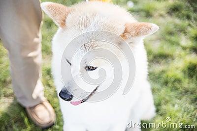 Портрет Акиты Inu