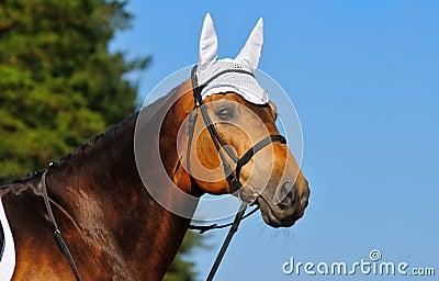 портрет лошади залива