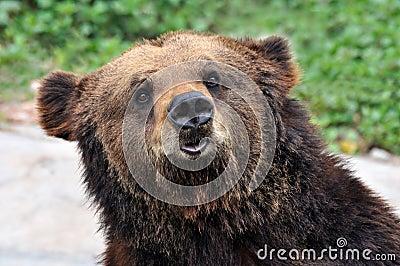 портрет медведя