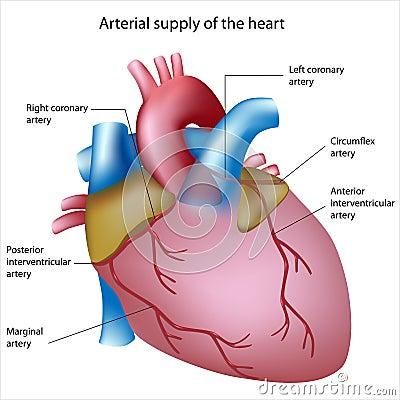 поставка сердца крови к