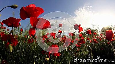 Поле красного мака цветет в ветре акции видеоматериалы