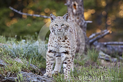 Подход к rufus Lynx бойскаута младшей группы