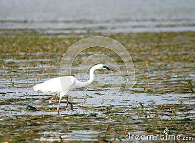преследовать птицы balinese