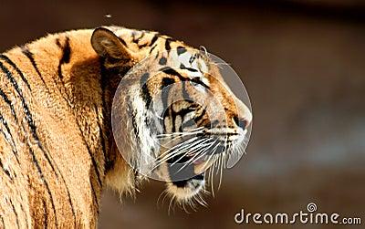 преследуя тигр
