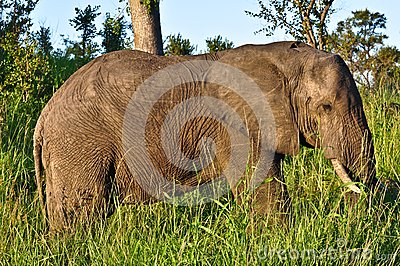 прогулка слона