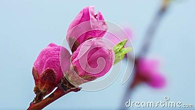 Промежуток времени цветка персика blossoming