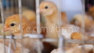 Промышленное производство съестного яичка Маленькие бройлеры цыпленка в зоомагазине видеоматериал