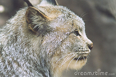 профиль lynx