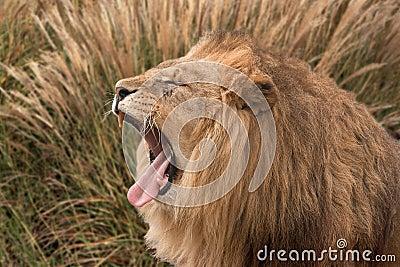пряча львев ревя