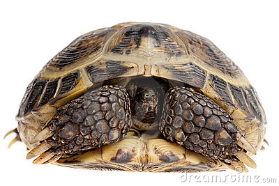 пряча черепаха