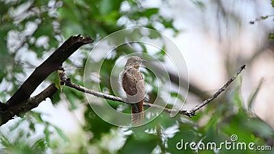 Птичий кукушка в дикой природе сток-видео