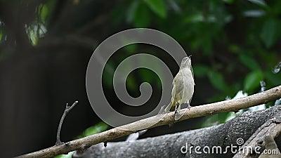 Птичий стрик-буль на дереве в дикой природе сток-видео