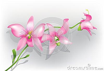 пурпур орхидеи