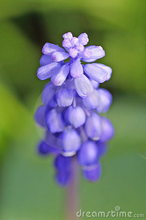 пурпур цветка
