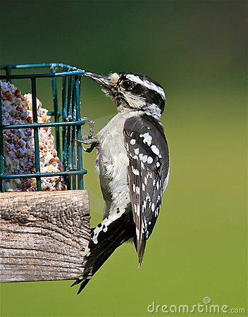 пуховый woodpecker