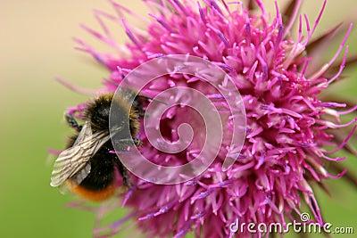 пчела путает thistle