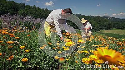 Работая люди деревни выбирая цветки видеоматериал