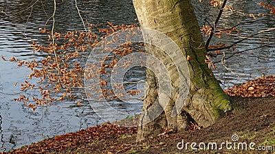 Разноцветное дерево в парке Валланлаген осенью, Бремен, Германия, Европа сток-видео