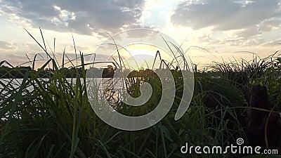 Речной берег Dnipro покрытый с зеленым bulrush, тросточкой, тростником, на заходе солнца видеоматериал