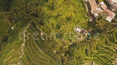Рис террасы fields в Ubud, Бали, Индонезии
