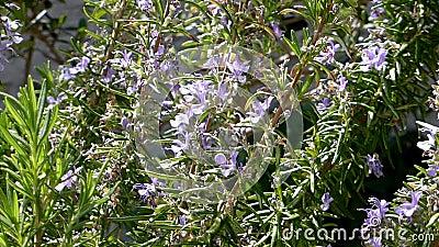 Розмари - лекарственное растение и специя с цветком сток-видео