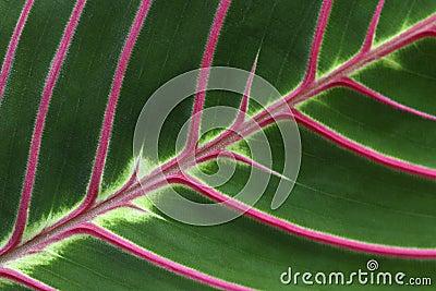 розовые вены