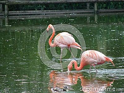 Розовые птицы фламинго
