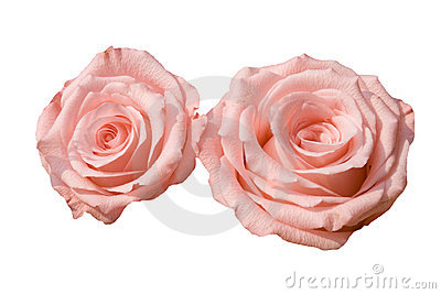 розовые розы 2
