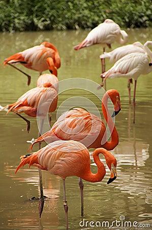 Розовые фламингоы