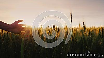 Рука фермера ласково швырнула верхние уши на поле пшеницы сток-видео