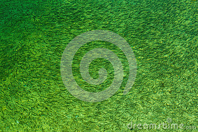 Рыбы в зеленое пресноводном