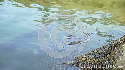 Рыбы в пруде и рыбной ловле сток-видео