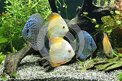 рыбы discus