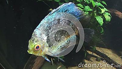 3 рыбы discus акции видеоматериалы