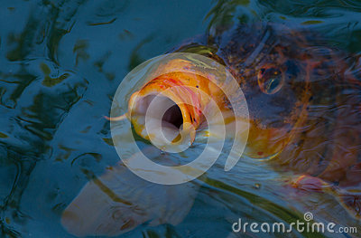 Рыбы Koi