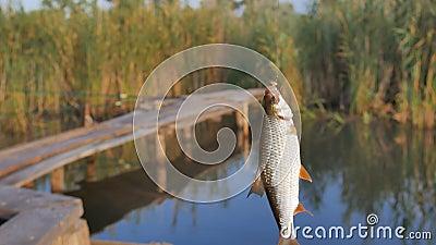 Свежепойманная рыба, которая висит на удочке, на крючке акции видеоматериалы