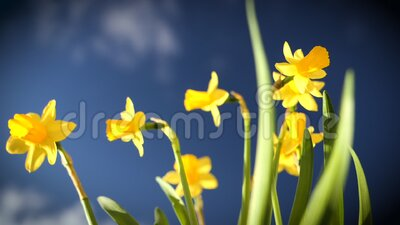 свежие нарциссы цветов в саду - свежесть весны в высокой четкости видеоматериал