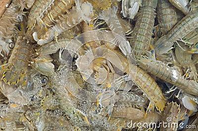 Свежий шримс mantis