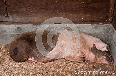 Свинья спать